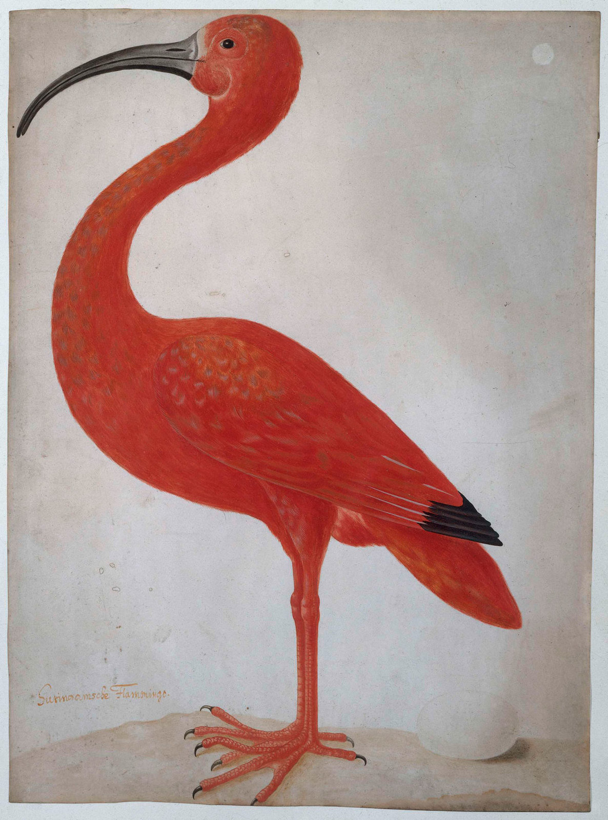 Scarlet Ibis with an Egg, 1699 - 1700, Maria Sibylla Merian, Rijksmuseum, Public Domain Mark
