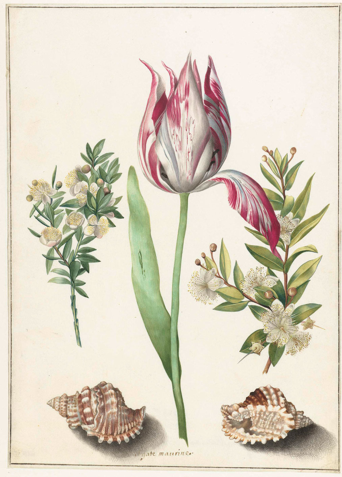 Tulip, two branches of myrtle and two shells, ca. 1700, Maria Sibylla Merian (attributed to), Rijksmuseum, Public Domain Mark