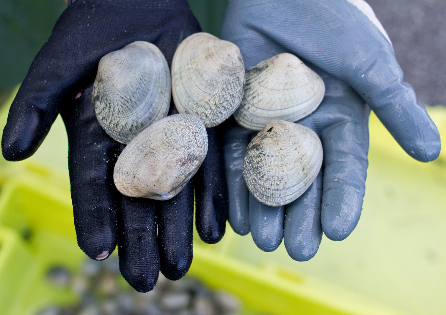 Winter 2012/2013, Cambados, Spain. Good size clams proudly displayed over a clam digger's hand, Mar Cuervo, Audiovisual Library of the European Commission, CC BY-NC-ND