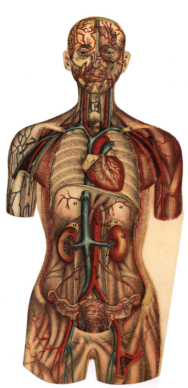 Plate III. The Blood Circulation. from The Woman: Her build and her internal organs, Aletta Jacobs, Project Gutenberg, Public Domain Mark