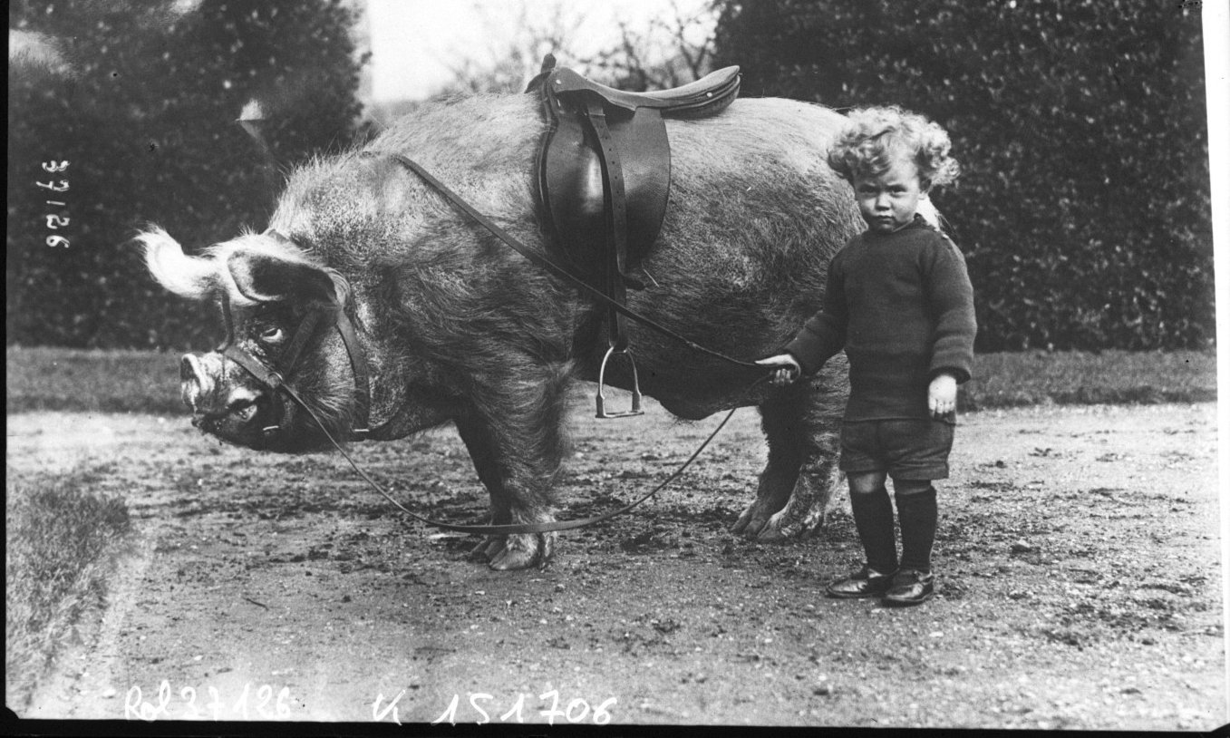 Tame animals of Mr Wingfield Ampthill child beside a saddled pig, Agence Rol. Agence photographique, 1914, Bibliothèque Nationale de France , Public Domain Mark