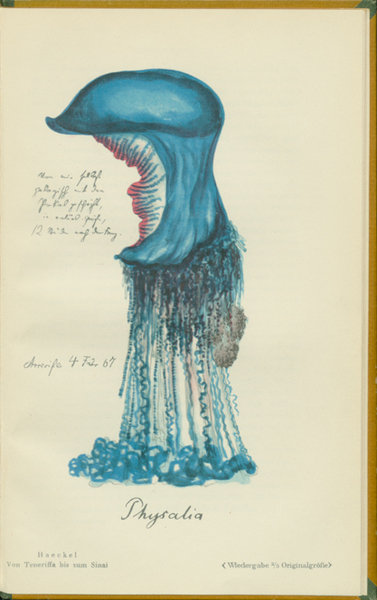 Physalia, Ernst Haeckel, University Library of Regensburg, Public Domain Mark