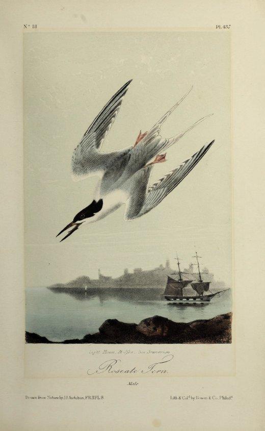 Roseate tern, 19th century , John James Audubon, University of Toronto - Thomas Fisher Rare Book Library, Public Domain Mark